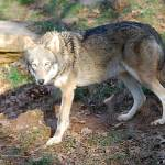 """Red Wolf 20131216_44a"" by Natureexploration"