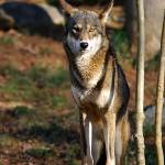 """Red Wolf 20131216_48a"" by Natureexploration"