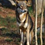 """Red Wolf 20131216_49a"" by Natureexploration"