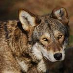 """Red Wolf 20131216_58a"" by Natureexploration"