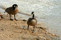 Canada Geese on River Bank
