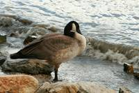 Canada Goose on a River Bank