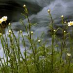 """Daisies by the Stream"" by PhotoViewPlus"