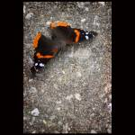 """Red Admiral Butterfly with Black Border"" by KsWorldArt"