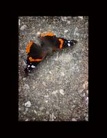 Red Admiral Butterfly with Black Border