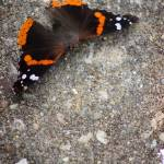"""Red Admiral Butterfly on Stone"" by KsWorldArt"