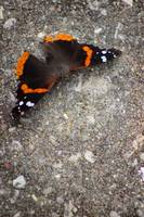Red Admiral Butterfly on Stone