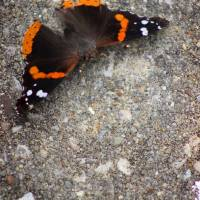 Red Admiral Butterfly on Stone Art Prints & Posters by Karen Adams