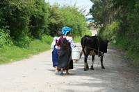 Leading a Cow Down a Road