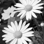 """Black and White of Daisies"" by elitephotoart"