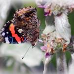 """Red Admiral Butterfly on Lambs Ear Plant"" by KsWorldArt"