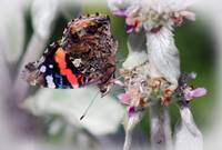 Red Admiral Butterfly on Lambs Ear Plant