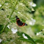 """Red Admiral Butterfly In Hydrangea"" by KsWorldArt"