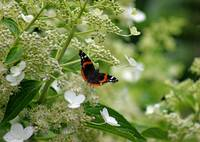 Red Admiral Butterfly In Hydrangea