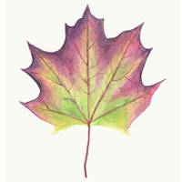 Purple Maple Leaf