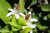 Bees Pollinating Fruit Trees