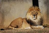 Regal African Lion 20150110_216a
