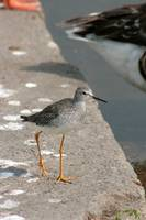 Sandpiper on a Dock