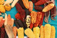 Ears of Corn at the Market