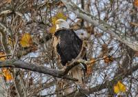 Hays Eagle Roosting