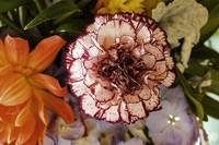 Carnation Red and White