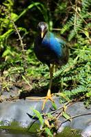 Azure Gallinule in Plants