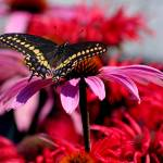 """Black Swallowtail Butterfly on Coneflower"" by KsWorldArt"