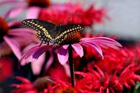 Black Swallowtail Butterfly on Coneflower