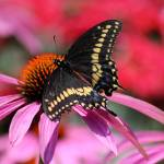 """Black Swallowtail Butterfly on Purple Coneflower"" by KsWorldArt"