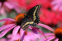 Black Swallowtail Butterfly on Purple Coneflower