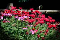 Echinacea and Monarda in Summer Garden