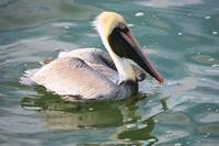 Brown Pelican in the Bay