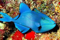 Blue Triggerfish In Cave