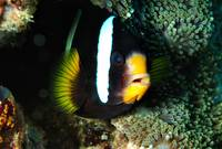 Anemonefish In Night Pajamas