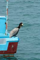 Brown Pelican on a Boat