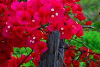 Bougainvillaea on a barbed-wire fence