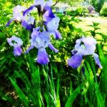 """Purple Irises in the Suburbs"" by susansartgallery"
