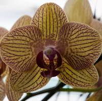 Regal Orchid Bloom