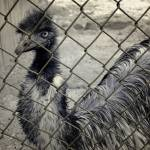 """Emu at the Zoo"" by LukeMoore"