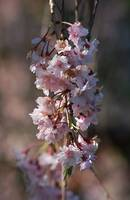 Weeping Cherry 20120419a_20a