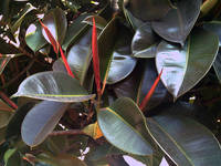Rubber Tree 9