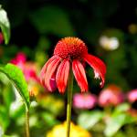 """Red Coneflower"" by robertmeyerslussier"