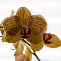 Red Veined Orchid