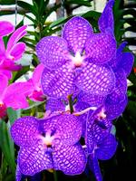 Thailand: Chiang Mai: Orchids 02 (2007)