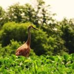 """Sandhill crane"" by Anewsgal"