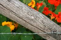 Barbed Wire Fence and Flowers