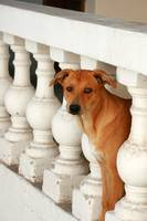 Dog Looking Through a Banister