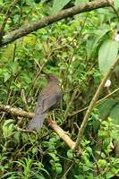 Brown Bird in Quito