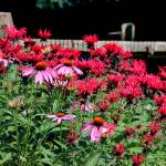 """Echinacea and Beebalm in a Summer Garden"" by KsWorldArt"