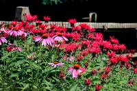 Echinacea and Beebalm in a Summer Garden
